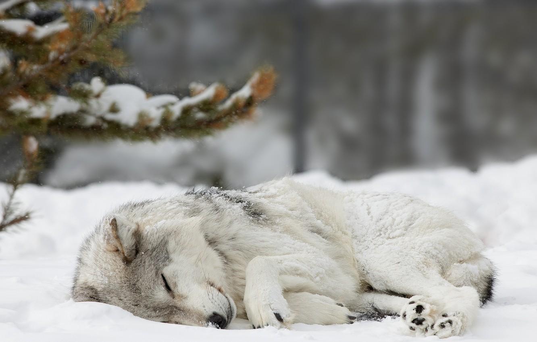 Фото обои лес, снег, волк, Зима, ель, спит, forest, nature, winter, snow, wolf, cute, sleaping