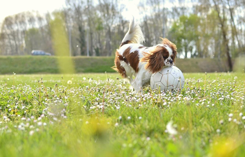 Фото обои field, dog, flowers, soccer, sunny, buds