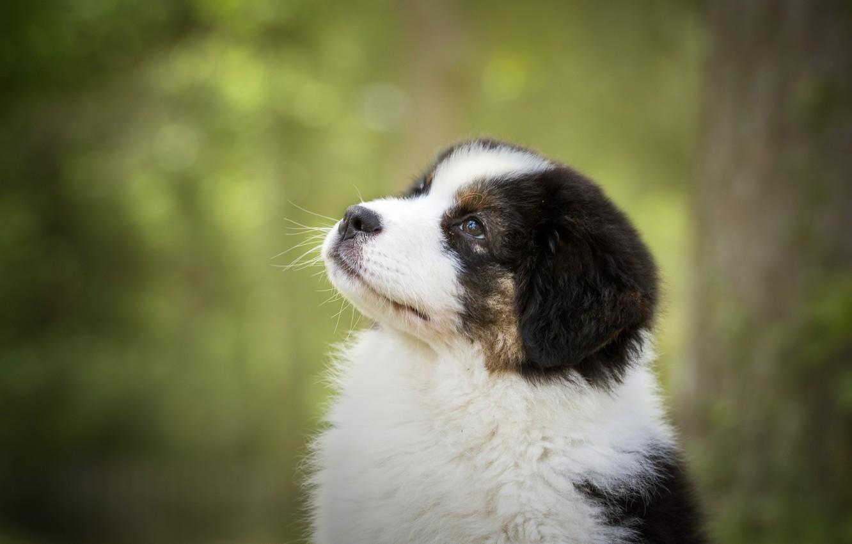 Фото обои портрет, собака, мордочка, щенок, боке