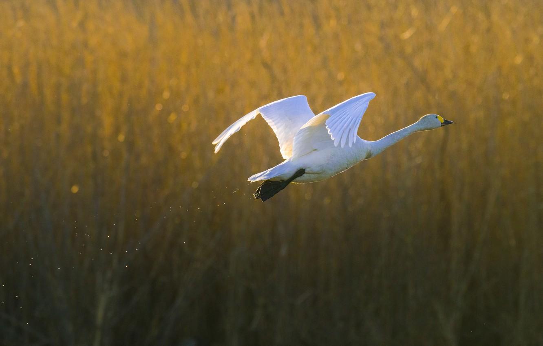 были фото летящих лебедей веселые мелочи