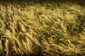 Картинка поле, трава, природа, пшеница заставки