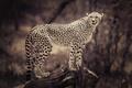 Картинка животные, коряга, driftwood, фон, wild cat, размытие, animals, сепия, cheetah, sepia, blurred, background, гепард, дикая ...