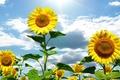 Картинка цветы, природа, лето, солнце, небо, подсолнухи, облака