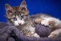 Картинка кошка, кот, взгляд, клубок, котенок, нитки, пряжа, обои от lolita777