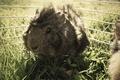 Картинка трава, морская свинка, коричневая