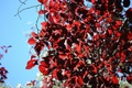 Картинка дерево, листья, красные