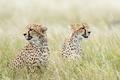 Картинка трава, хищники, гепарды