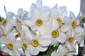 Картинка цветы, природа, весна, нарциссы