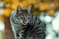 Картинка кошка, кот, блики, серый, фон, полосатый