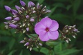 Картинка цветы, природа, флоксы, bisira, растения