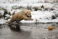 Картинка медведь, снег, зима