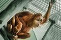 Картинка взгляд, обезьяна, Sumatran Orangutan