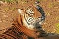 Картинка усы, тигр, домашняя полосатая кошка, морда, довольный взгляд