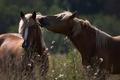 Картинка лето, трава, кони