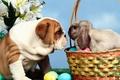 Картинка яйца, взгляд, корзина, бульдог, кролик