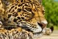 Картинка усы, отдых, ягуар, морда, лапы, panthera onca