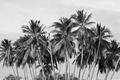 Картинка пальмы, деревья, черно-белое