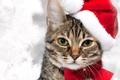 Картинка кот, усы, взгляд, красный, праздник, Новый год, holidays, бантик, cat, колпак, дымчатый, New year