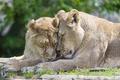 Картинка пара, львы, ©Tambako The Jaguar, кошки