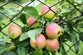 Картинка яблоки, урожай, изгородь