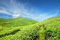 Картинка зелень, небо, облака, голубое, поля, плантации