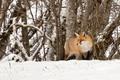 Картинка winter, wildlife, fox, hunting, snow, trees