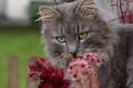 Картинка кошка, мордочка, цветы, кот