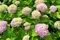 Картинка цветение, flowers, гортензия, Hydrangea