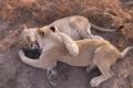 Картинка животные, любовь, игры, хищники, лев, лапы, львица