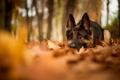 Картинка собака, лежит, природа, листья, размытость, осень, овчарка, лес