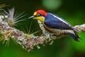 Картинка птица, желтогрудый дятел, Бразилия, перья
