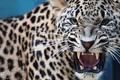 Картинка леопард, пасть, хищник, клыки, оскал