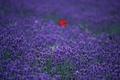 Картинка цветы, мак, поле, лаванда
