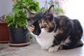 Картинка кошка, трёхцветная, жопульдра, жопульдрина петровна