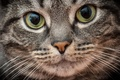 Картинка кошка, макро, взгляд, кот