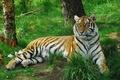 Картинка кошка, тигр, трава, амурский