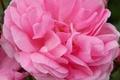 Картинка макро, роза, растение, лепестки, бутон