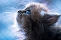 Картинка blue eyes, cat, nose, sweet, blue background, mustache, portrait, animal, Kitten