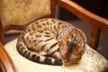 Картинка кот бенгальский, бенгальский, cat, кот