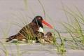 Картинка трава, снег, птица, птенцы, кулик-сорока