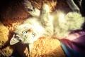 Картинка кошка, свет, игрушка, постель, Шейла