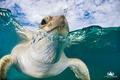 Картинка море, вода, черепаха