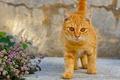 Картинка кошка, цветы, рыжий котёнок, котёнок, рыжий, кот