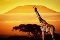 Картинка деревья, закат, Африка, жираф