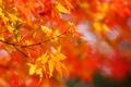 Картинка солнечно, крона, листья, дерево, желтые, клен, солнце, осень