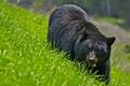 Картинка трава, природа, медведь