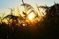 Картинка лето, трава, солнце, закат, вечер, камыш