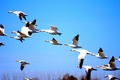 Картинка fall, autumn, white, wilderness, blue sky, Canada, birds, fly, nature, duck