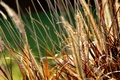 Картинка макро, трава, колосья, природа