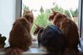 Картинка мейн-кун, трое, кошки